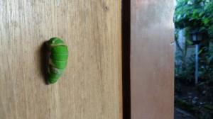 Ulat hijau